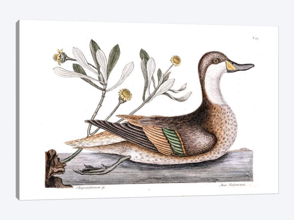 Ilathera Duck (White-Cheeked Pintail) & Buphthalmum Frutescens (Sea Oxeye) by Mark Catesby 1-piece Canvas Wall Art