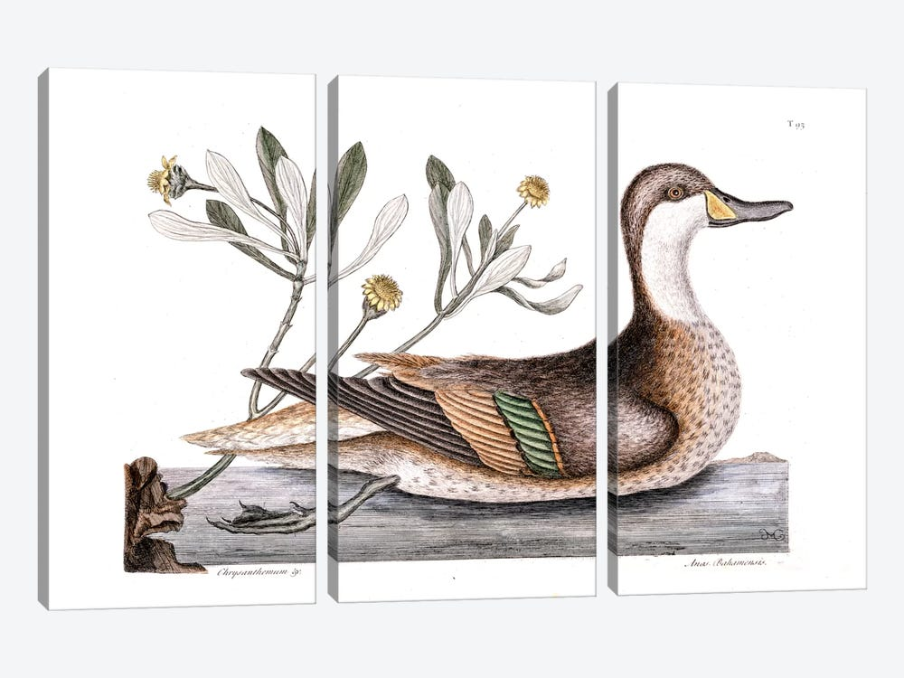 Ilathera Duck (White-Cheeked Pintail) & Buphthalmum Frutescens (Sea Oxeye) by Mark Catesby 3-piece Canvas Artwork