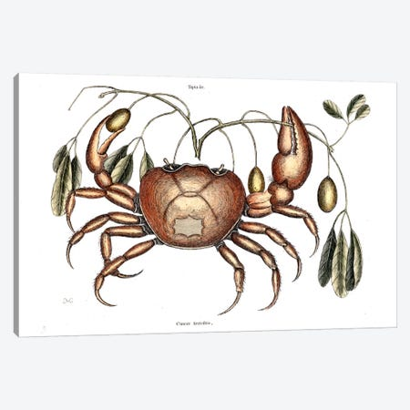 Land Crab & Crateva Tapia Canvas Print #CAT93} by Mark Catesby Art Print