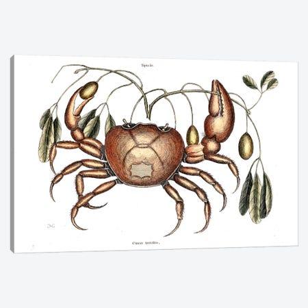 Land Crab & Crateva Tapia Canvas Print #CAT93} by Mark Catesby Art Print
