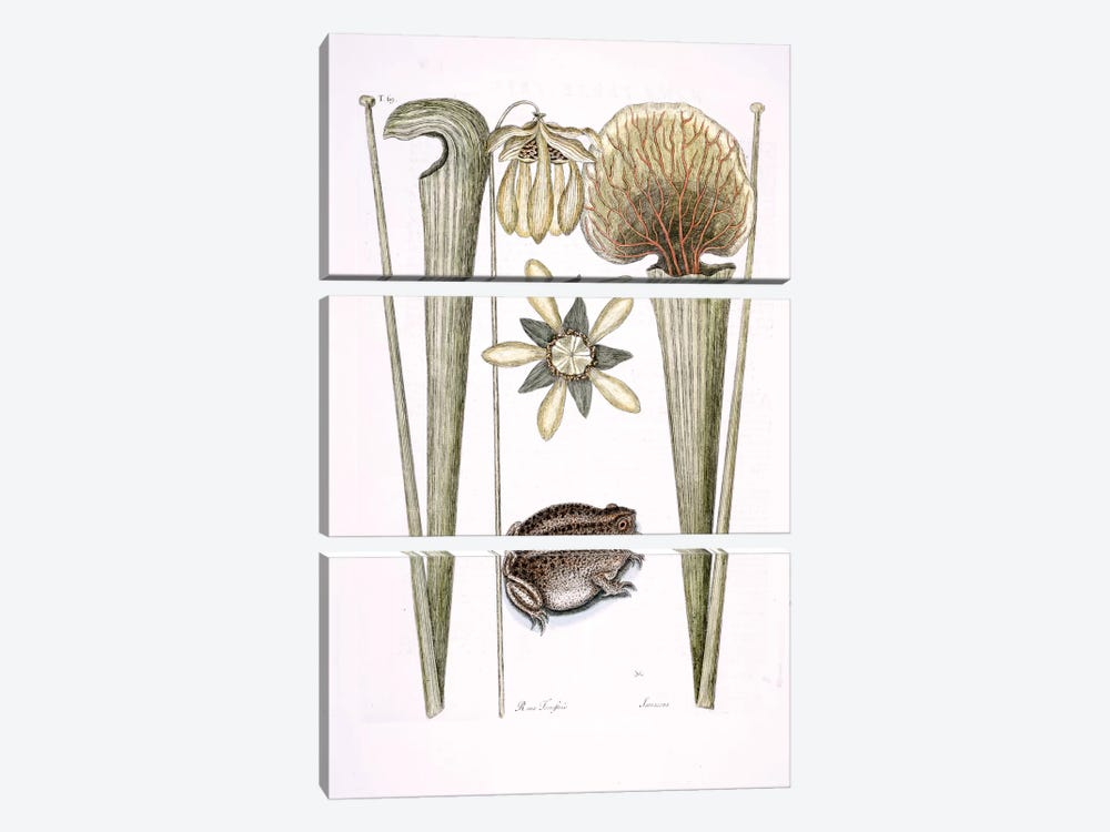 Land Frog & Sarracenia by Mark Catesby 3-piece Canvas Art