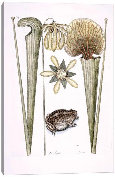 Land Frog & Sarracenia Canvas Art Print