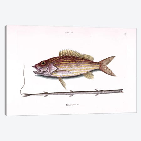 Lane Snapper & Tobacco Pipe Fish (Cornetfish) Canvas Print #CAT95} by Mark Catesby Canvas Artwork