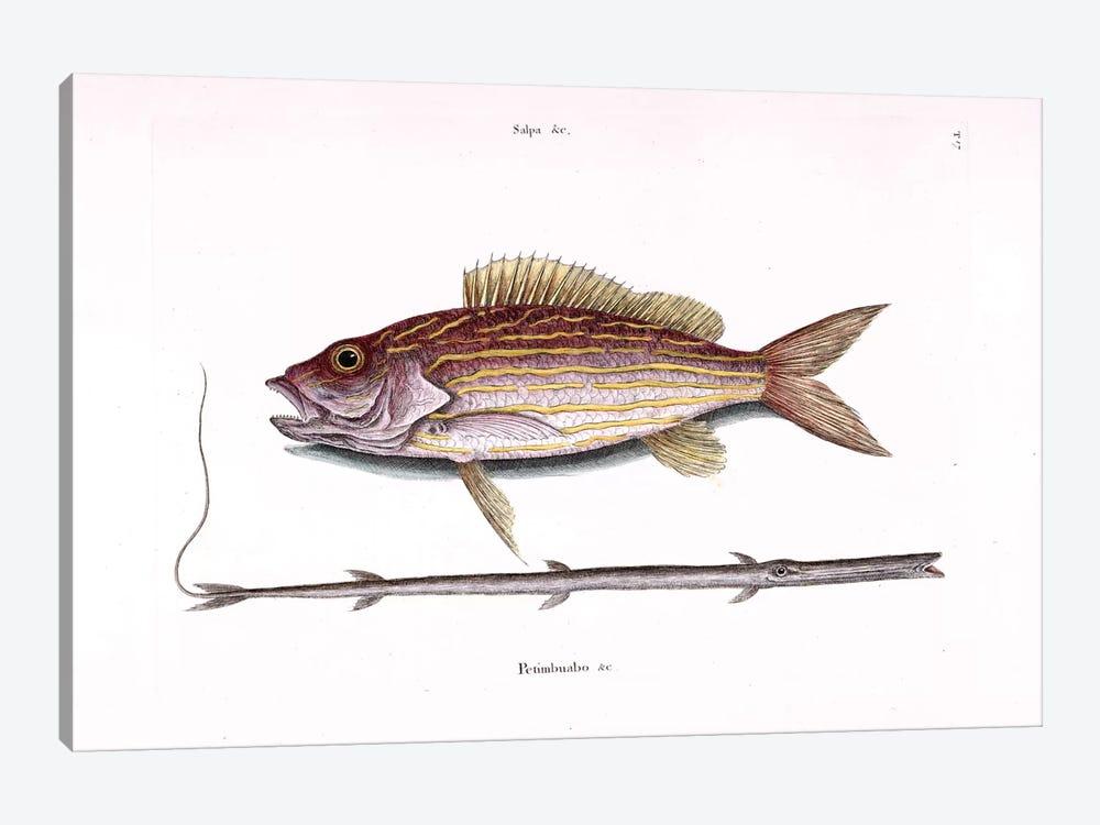 Lane Snapper & Tobacco Pipe Fish (Cornetfish) by Mark Catesby 1-piece Art Print