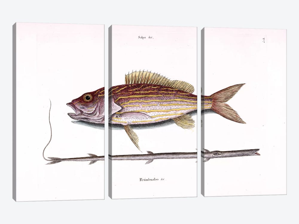 Lane Snapper & Tobacco Pipe Fish (Cornetfish) by Mark Catesby 3-piece Canvas Art Print