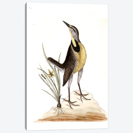 Large Lark & Little Yellow Starflower Canvas Print #CAT96} by Mark Catesby Canvas Art