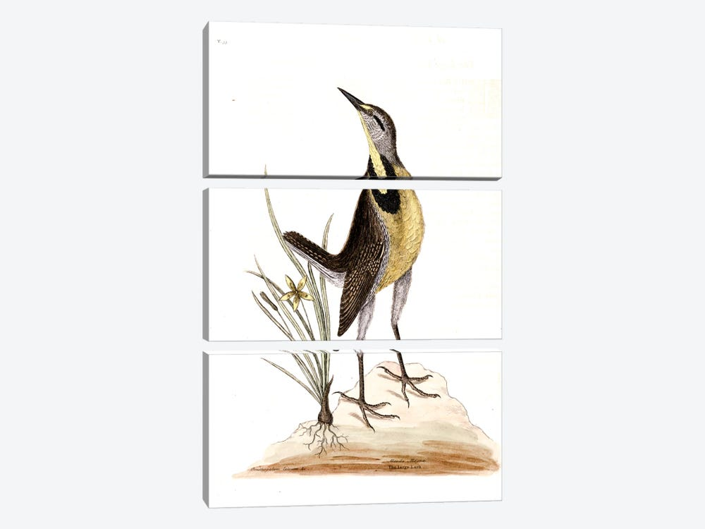 Large Lark & Little Yellow Starflower by Mark Catesby 3-piece Canvas Wall Art