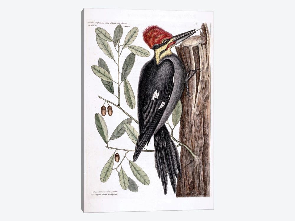 Larger Red-Crested Woodpecker & Live Oak by Mark Catesby 1-piece Canvas Art Print