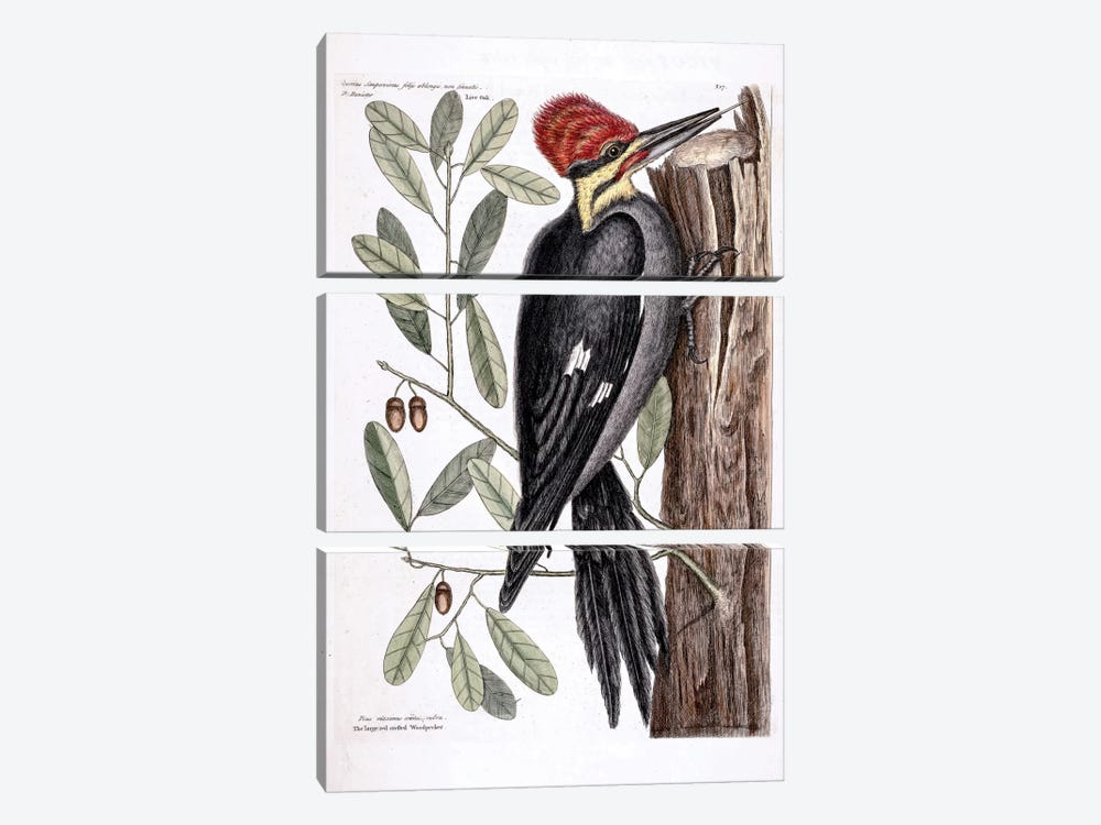 Larger Red-Crested Woodpecker & Live Oak by Mark Catesby 3-piece Canvas Print