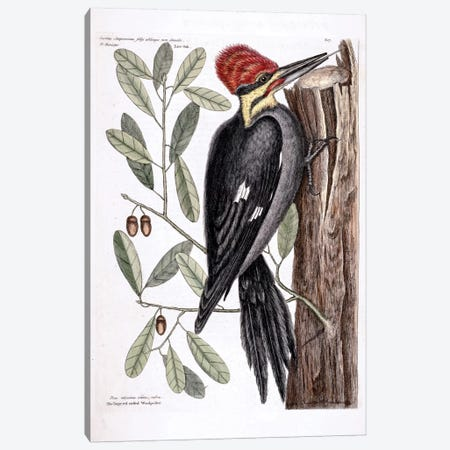 Larger Red-Crested Woodpecker & Live Oak Canvas Print #CAT97} by Mark Catesby Canvas Art