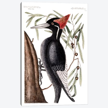 Largest White-Billed Woodpecker & Willow Oak Canvas Print #CAT98} by Mark Catesby Canvas Print
