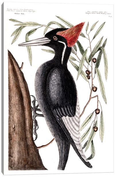 Catesby's Natural History Series: Largest White-Billed Woodpecker & Willow Oak Canvas Print #CAT98