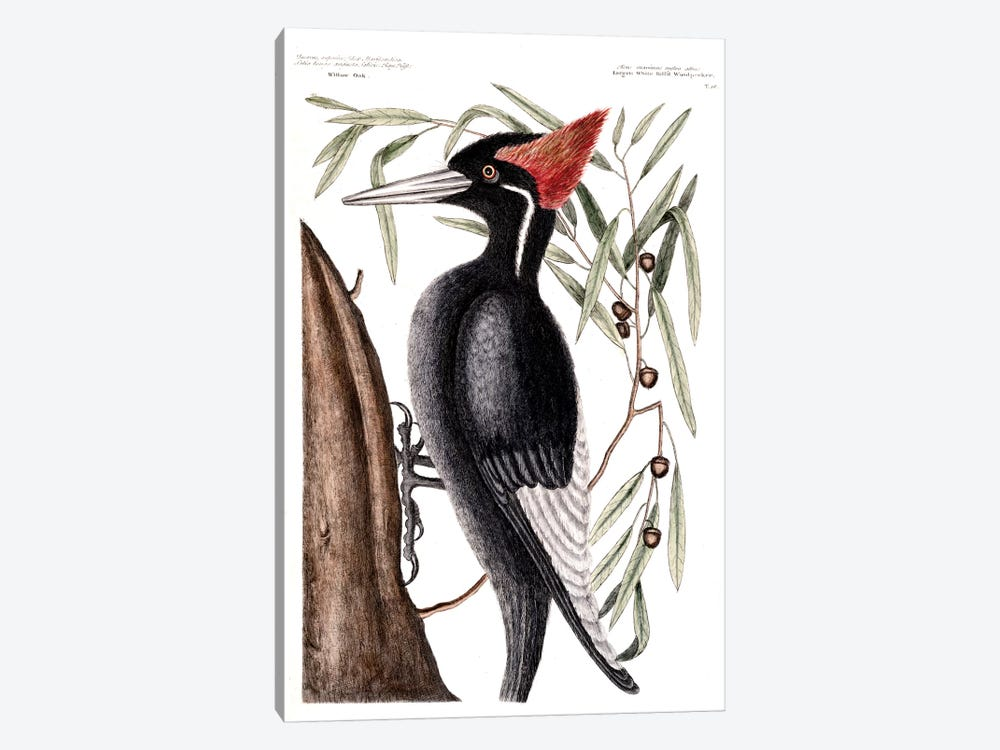 Largest White-Billed Woodpecker & Willow Oak by Mark Catesby 1-piece Canvas Art