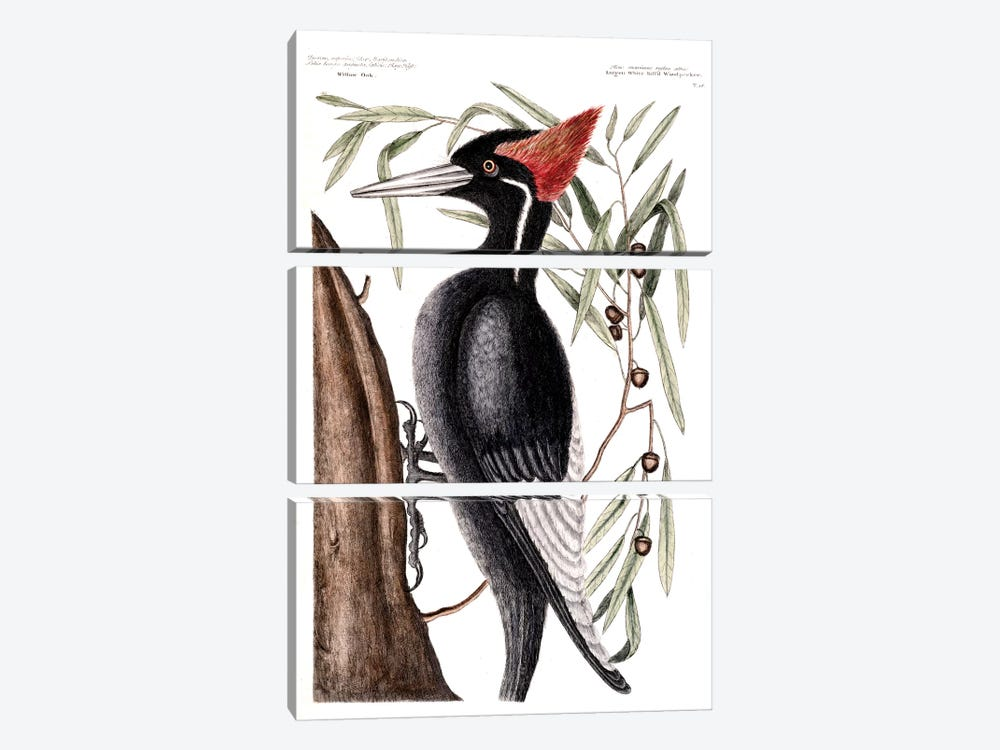 Largest White-Billed Woodpecker & Willow Oak by Mark Catesby 3-piece Canvas Art