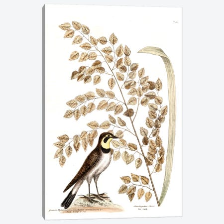 Lark & Seaside Oat Canvas Print #CAT99} by Mark Catesby Canvas Art Print