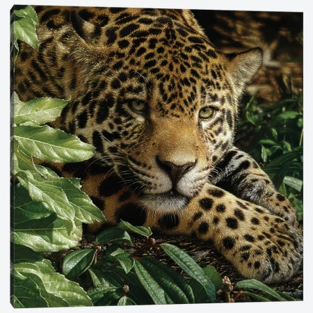 Jaguar at Rest 3-Piece Canvas #CBO104} by Collin Bogle Canvas Art Print