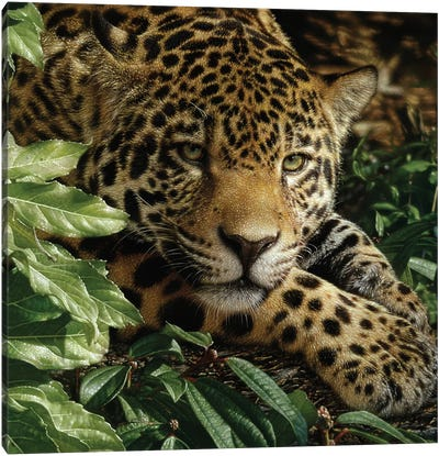 Jaguar at Rest Canvas Art Print