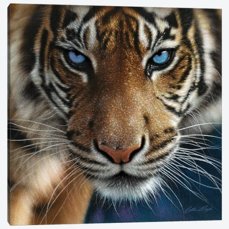 Tiger - Blue Eyes Canvas Print #CBO115} by Collin Bogle Canvas Art