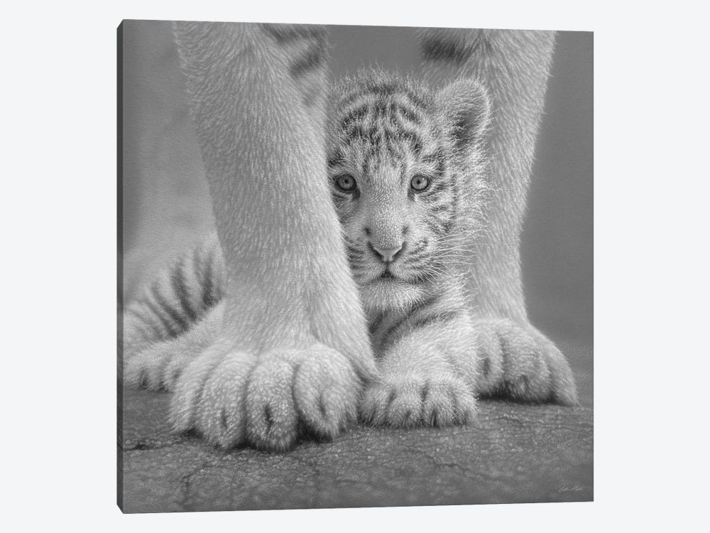 White Tiger Cub - Sheltered In Black & White by Collin Bogle 1-piece Canvas Print