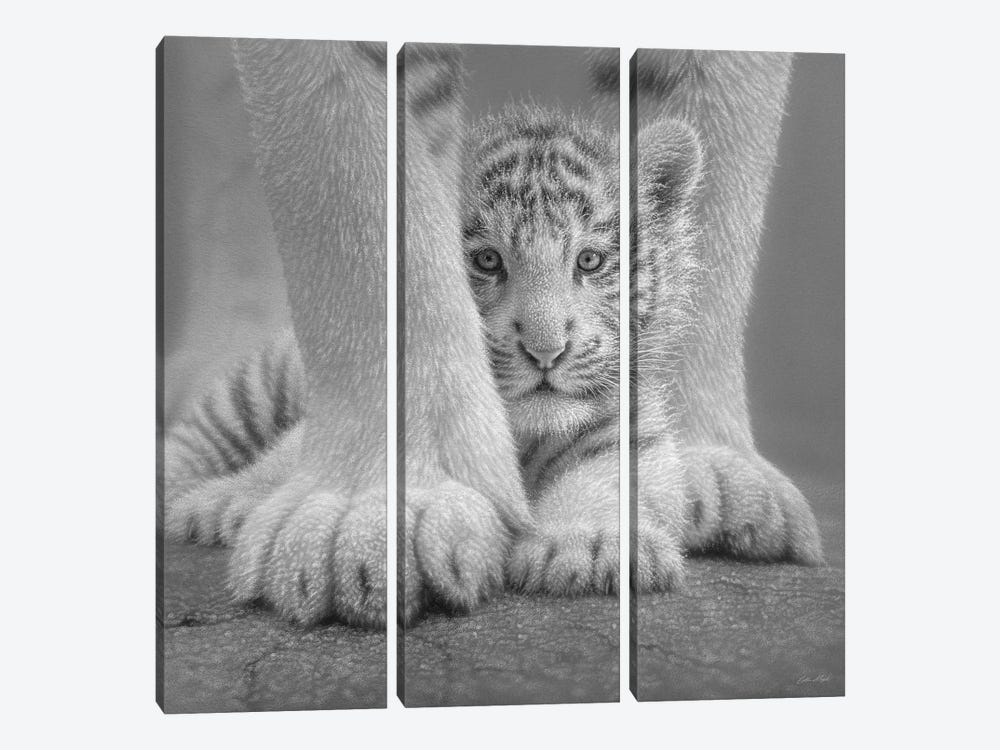 White Tiger Cub - Sheltered In Black & White by Collin Bogle 3-piece Art Print