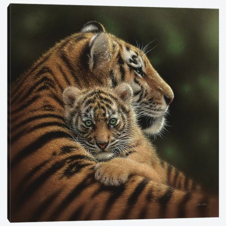 Cherished Tiger Cub, Square Canvas Print #CBO12} by Collin Bogle Canvas Art