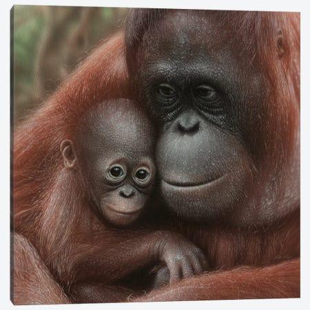 Orangutan Mother & Baby - Snuggled - Square Canvas Print #CBO137} by Collin Bogle Canvas Art