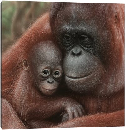Orangutan Mother & Baby - Snuggled - Square Canvas Art Print