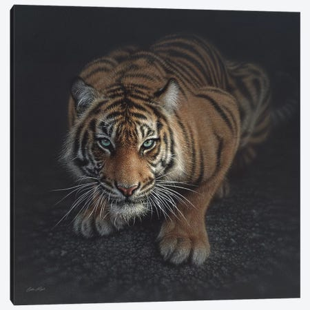 Crouching Tiger, Square Canvas Print #CBO15} by Collin Bogle Art Print