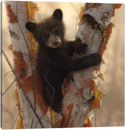 Curious Black Bear Cub I, Square Canvas Art Print