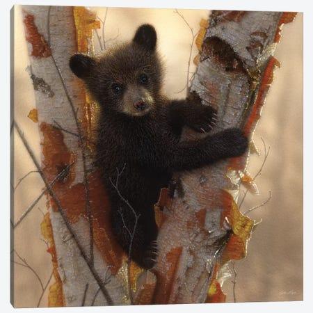 Curious Black Bear Cub I, Square Canvas Print #CBO17} by Collin Bogle Canvas Art Print