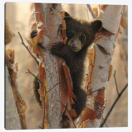Curious Black Bear Cub II, Square Canvas Print #CBO18} by Collin Bogle Canvas Wall Art
