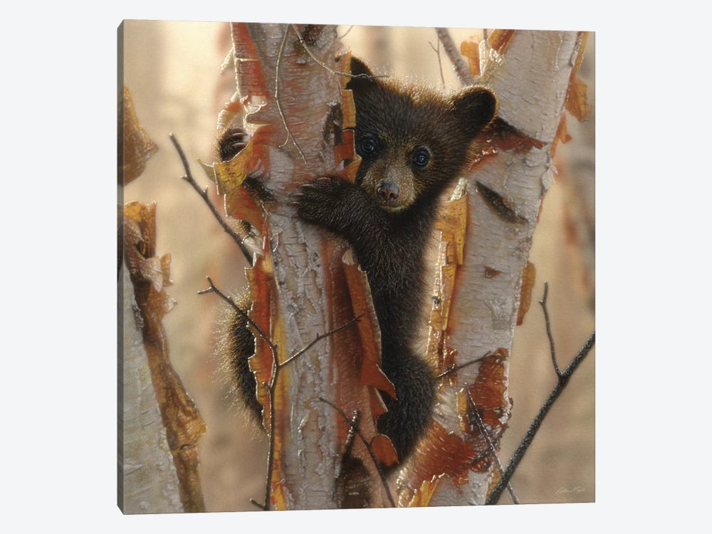 Curious Black Bear Cub II, Square by Collin Bogle 1-piece Canvas Artwork