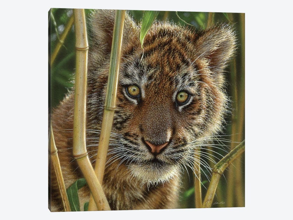 Tiger Cub Discovery, Square by Collin Bogle 1-piece Canvas Art Print