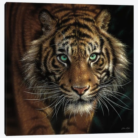 Eye Of The Tiger, Square Canvas Print #CBO25} by Collin Bogle Canvas Wall Art