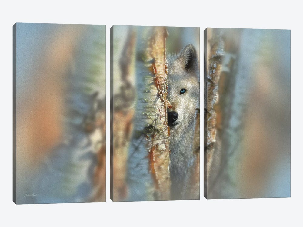 Focused - White Wolf, Horizontal by Collin Bogle 3-piece Canvas Print