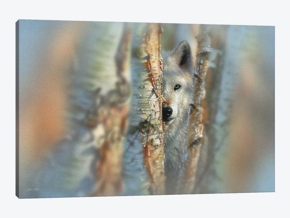 Focused - White Wolf, Horizontal by Collin Bogle 1-piece Art Print