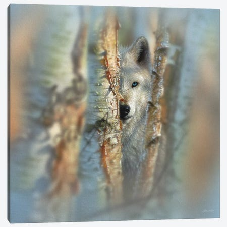 Focused - White Wolf, Square Canvas Print #CBO29} by Collin Bogle Canvas Art Print
