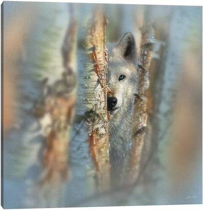 Focused - White Wolf, Square Canvas Art Print