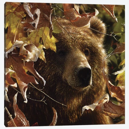 Legend Of The Fall - Brown Bear, Square Canvas Print #CBO42} by Collin Bogle Canvas Print