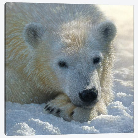 Polar Bear Cub, Square Canvas Print #CBO59} by Collin Bogle Canvas Art