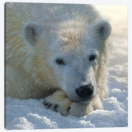 Polar Bear Cub, Square 3-Piece Canvas #CBO59} by Collin Bogle Canvas Art