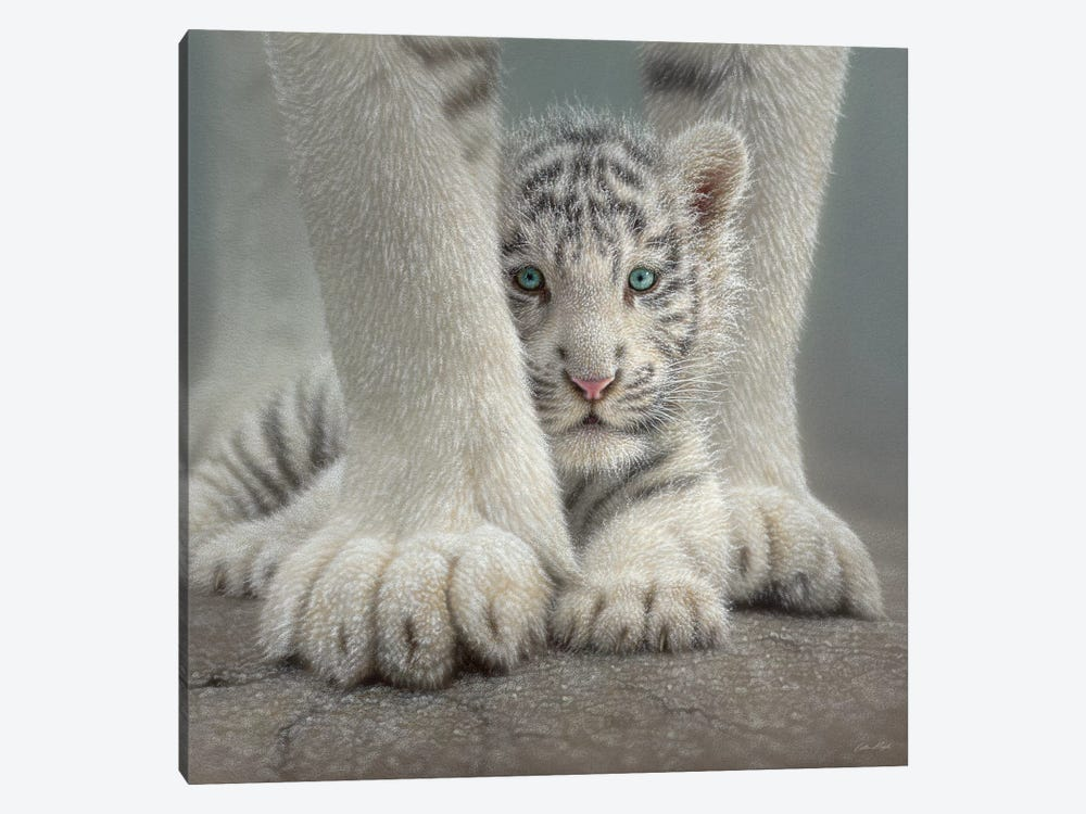 Sheltered - White Tiger Cub, Square by Collin Bogle 1-piece Art Print