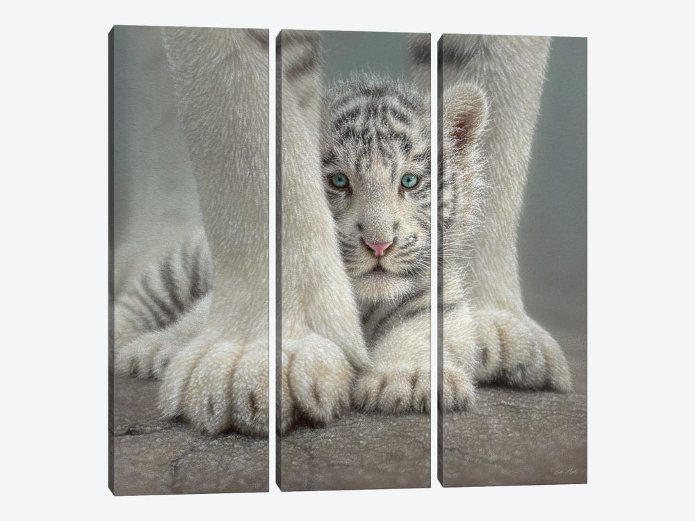 Sheltered - White Tiger Cub, Square by Collin Bogle 3-piece Canvas Print