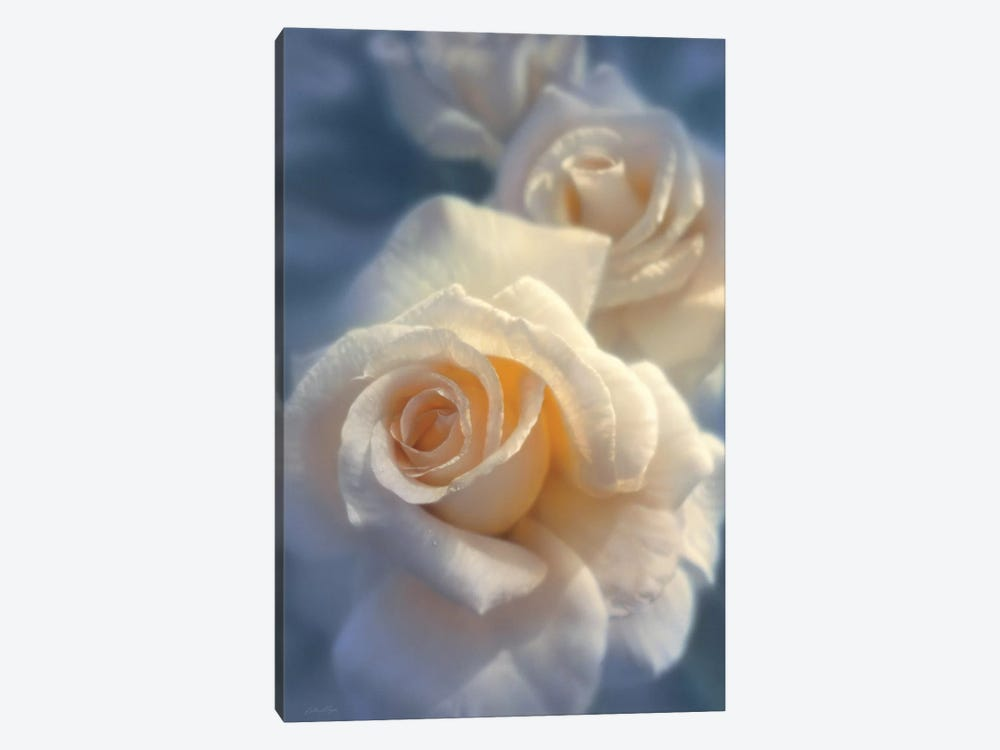 Unforgettable White Rose, Horizontal by Collin Bogle 1-piece Canvas Art Print