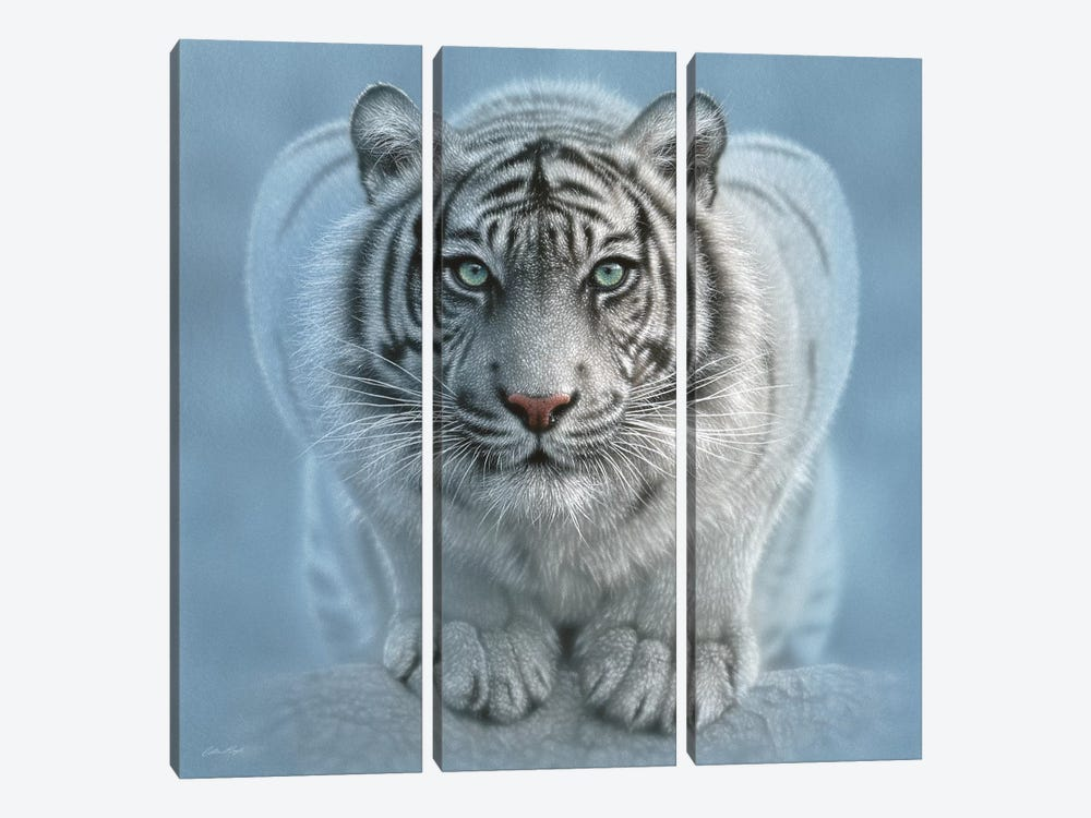 Wild Intentions - White Tiger, Square by Collin Bogle 3-piece Canvas Wall Art