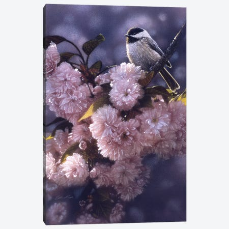 Black-Capped Chickadee In Spring Pink Canvas Print #CBO94} by Collin Bogle Canvas Print