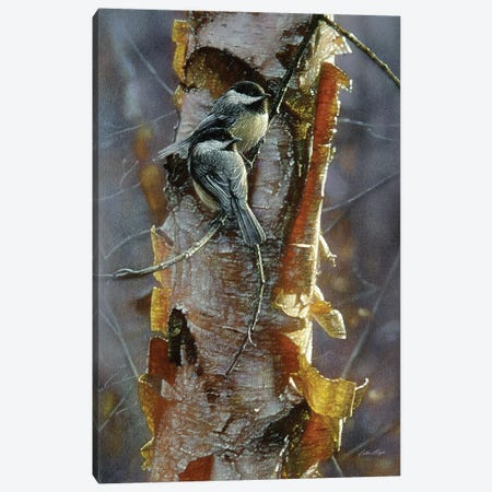 Black-Capped Chickadees - Sunlit Birch I Canvas Print #CBO95} by Collin Bogle Canvas Art Print