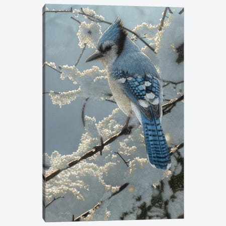 Blue Jay  On the Fence Canvas Print #CBO97} by Collin Bogle Canvas Art Print