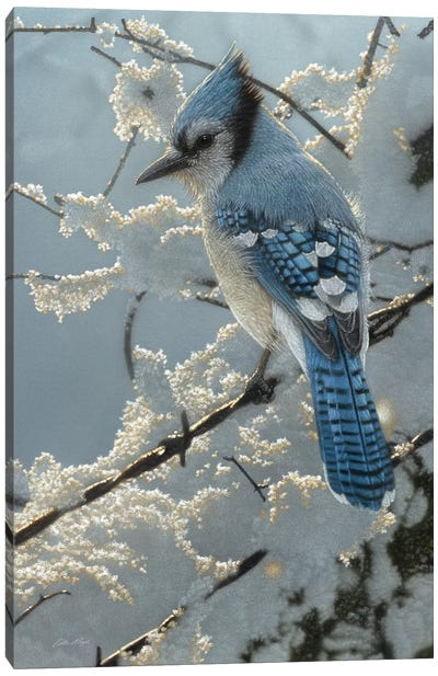 Blue Jay  On the Fence Canvas Art Print