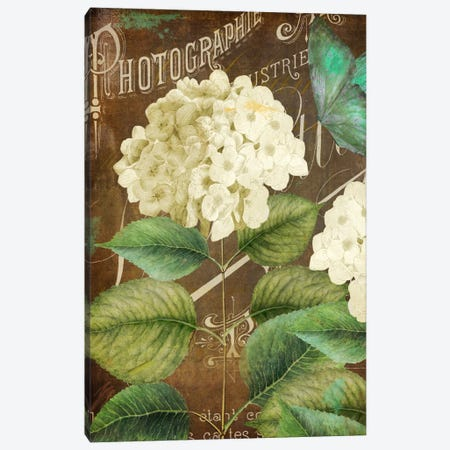 Alabaster Hydrangea Canvas Print #CBY81} by Color Bakery Art Print